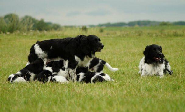 Bauke en Doutzen pups geboren 28-05-2017