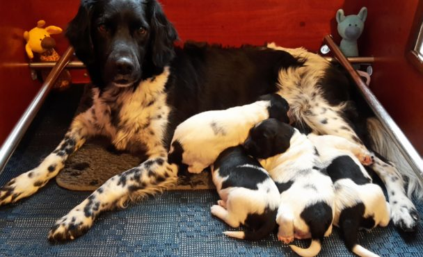 Friese stabij pups geboren 28 november 2018