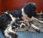 Friese stabij pups geboren 17-02-2020 en uitgevlogen